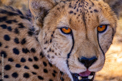 Fotografering looking into a cheetahs eyes with mouth open