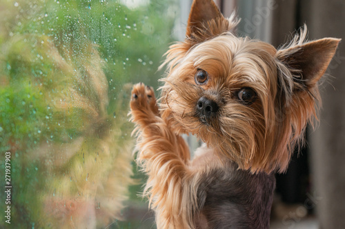 Obraz The dog looks out the window, the rain outside the window, the Yorkshire terrier - fototapety do salonu