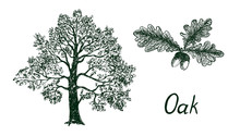 Oak Tree Silhouette And Branch With Leaves And Acorns, Hand Drawn Doodle, Sketch, Black And White Vector Illustration