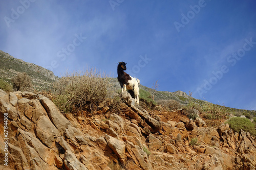Foto op Canvas Schapen Photo of wild goat on the road to iconic Balos lagoon in natural preserve area, Crete island, Greece