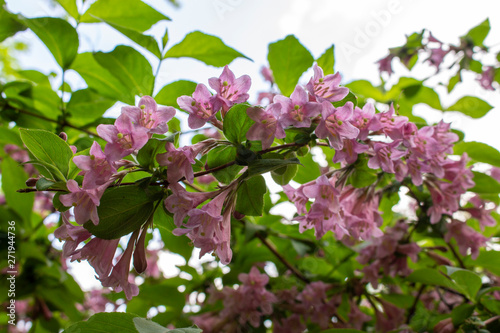 Weigela honeysuckle blooming in spring, a branch with leaves and ashen pink flowers, soft focus Canvas Print