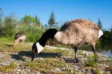 Canada Geese (Branta Canadensis), Pair, Feeding, Ickinger Stausee, Nature Reserve Isarauen, Pupplinger Au, Upper Bavaria, Bavaria, Germany, Europe