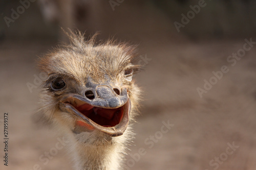 Tuinposter Struisvogel Head of cheerful ostrich