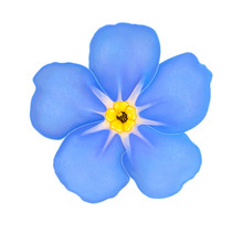 Blue Flower Forget-me-not Close-up Isolated On White. Realistic Illustration.