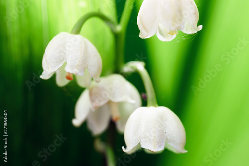 Poster Muguet de mai Blossoming flowers of lily of the valley in early morning outdoors macro