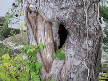 Heart Shaped Knot In Trunk