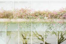 Pink Bougainvillea Flowers Wit...