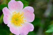 Macro Photo Of A Cherokee Rose...
