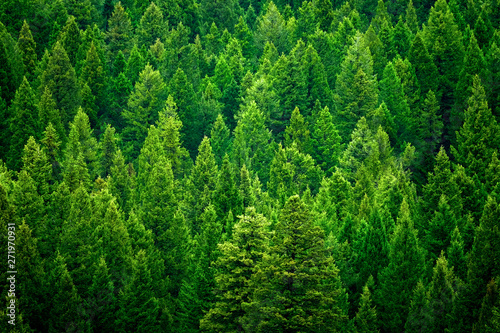 Foto  Forest of pine trees in wilderness mountains rugged