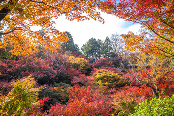 Obraz na Szkle Las All the maple trees have turn into red foliage during this Autumn season at Tofukuji temple in the south of Higashiyama district of Kyoto