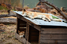 Sleeping Dingos At A Dog Kenne...