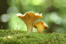 Chanterelle Mushrooms Close Up. Edible Mushroom Cantharellus Cibarius In Forest