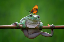 Butterfly On Top Of A Dumpy Tree Frog On A Branch, Indonesia