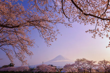 Cherry Blossom In Front Of Mt ...
