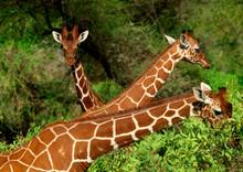 Giraffes Eating Trees, Kenya