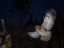 Tawny Owl In Flight, Spain