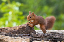 Red Squirrel On A Branch, Spain