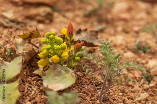 Yellow wildflower on the desert floor