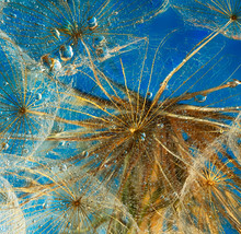 Fragment Of Salsify Flower As Background
