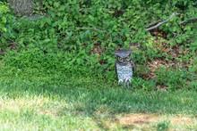 Fake Plastic Owl Decoy Keeping...