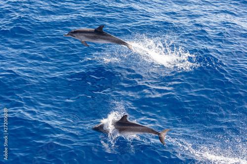 Foto op Aluminium Dolfijn Family dolphins swimming in the blue ocean in Tenerife,Spain