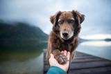 Fototapeta Zwierzęta - Dog gives human paw. Friendship between man and dog.