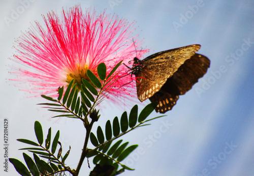 Cadres-photo bureau Fleuriste papillon buttinant une jolie fleur rose