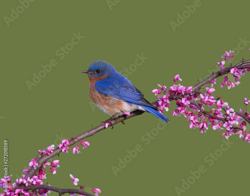 Vászonkép Male Eastern Bluebird Perched in Redbud Blossoms