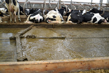 The Moving Delta Scraper Installation Removes Manure In The Cowshed
