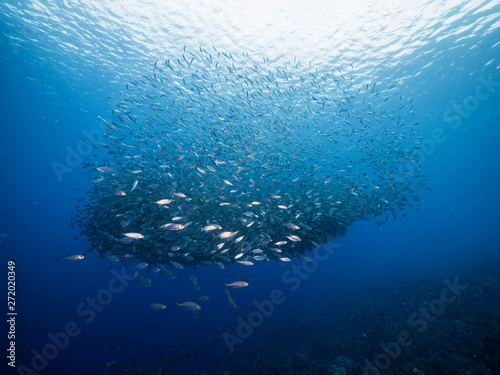 Bait ball in coral reef of Caribbean Sea around Curacao at dive site Playa Grand Wallpaper Mural