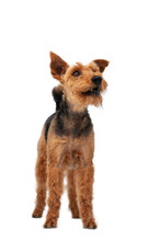 Dog Welsh Terrier In Studio Isolated Portrait On White Background