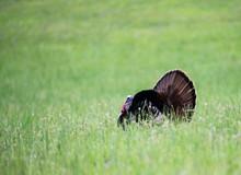 Male Turkey Displaying His Fea...