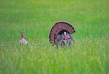 Male Turkey Displaying His Feathers To His Lady.