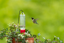 Hovering Ruby-throated Humming...