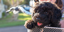 Schnoodle Puppy Dog Sitting In...