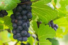 Vine Grape In Vineyards, Rips ...