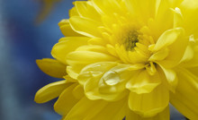 Yellow Chrysanthemum With Water Drop On Petal Atristic Background