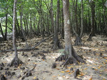 Okinawa,Japan-June 2, 2019: Knee Roots In Mangrove Forests Along Miyara River In Ishigaki, Okinawa