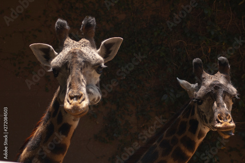 Fototapety, obrazy: Two cute West African Giraffes look at camera , tongue out