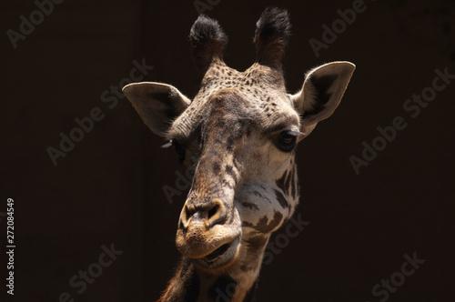 Fototapety, obrazy: Cute doe-eyed West African Giraffe