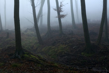 Old Mystical Foggy Forest. Male Karpaty Mountain, Slovakia. Hazy Forest In Slovakia. Murky Timber In Afternoon. Hazy Wood In Slovak Rpublic - Male Karpaty Mountain. Foggy Forest In Central Europe.
