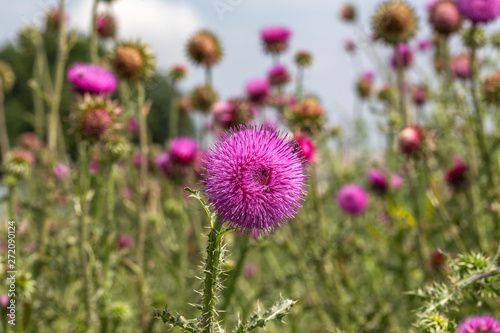 Photo Beautiful purple thistle flower
