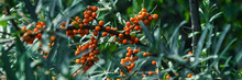 Sea-buckthorn Close Up Panorama