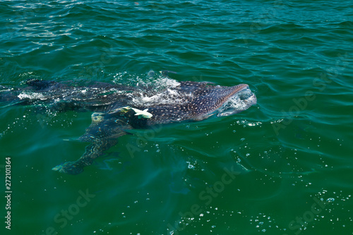 Fotobehang Vissen TIBURON BALLENA - WHALE SHARK (Rhincodon typus), Isla de Holbox, Estado de Quntana Roo, Península de Yucatán, México