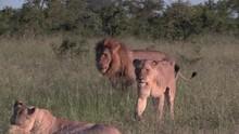 Lions Walk Across The Savanna In The Low Evening Sun