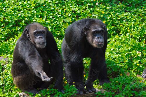 Fotografia Chimpanzee,animal with brains nearby mankind.