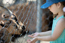 Little Girl Feeding Goats Through The Fence At The Petting Zoo