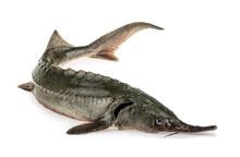 Fresh Sturgeon Fish Isolated O...