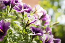 Violet Star Charm Petunia Flowers. Close-up. Macro. Soft Focus Effect.
