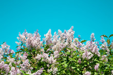 White Lilac Flowers On A Brigh...